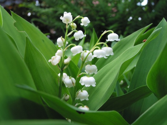 Song of Solomon - Lily of the Valley